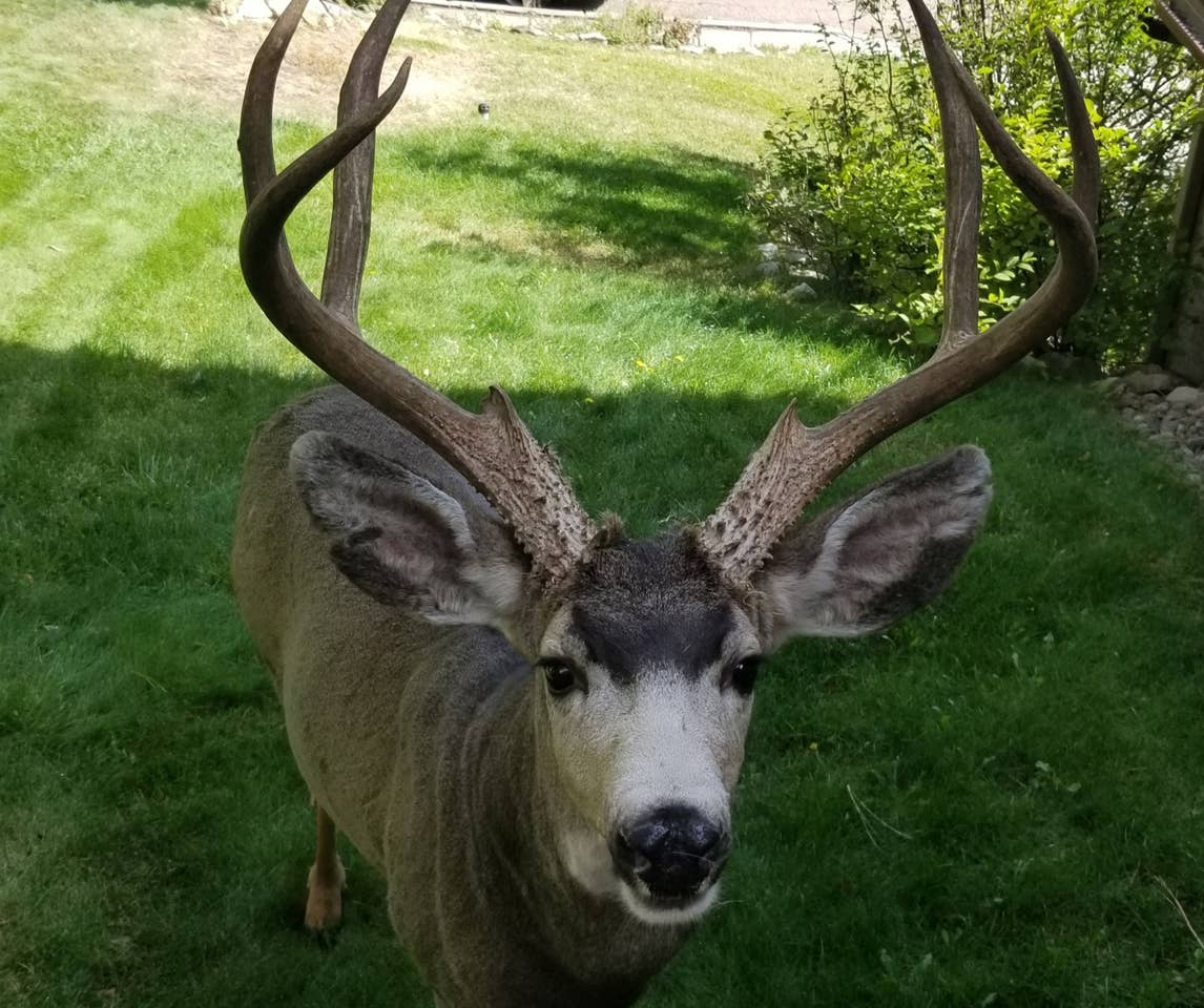 This photo was taken over the back fence, so no danger! This buck was asking if he could come in to the back yard and play.