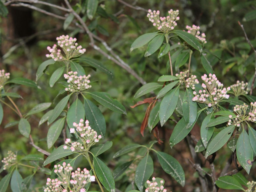 Lovely Mountain Laurels dot the mountainside