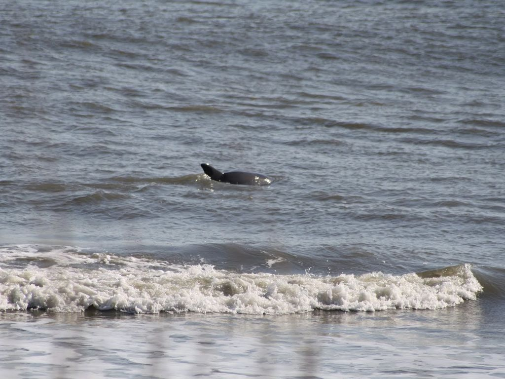 Dolphin right off the shore!