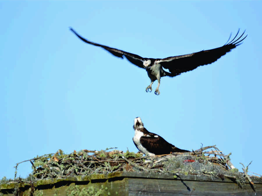Osprey Nest at Property