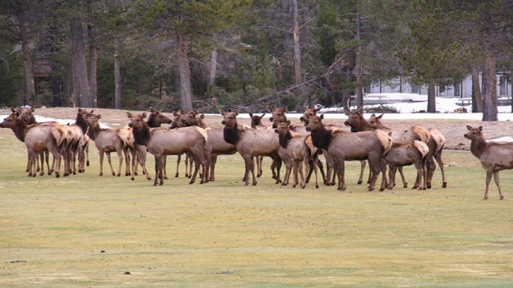 Elk herd in winter in front of the lodge