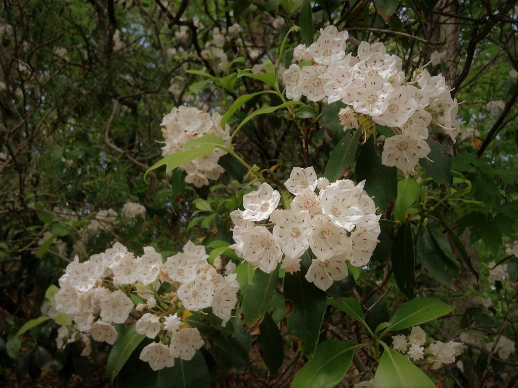 Come in May and June to see Mountain Laurel and Rhododendrons in bloom.