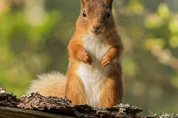 Red squirrels are easy to photograph in the grounds of Glentruim Lodge.