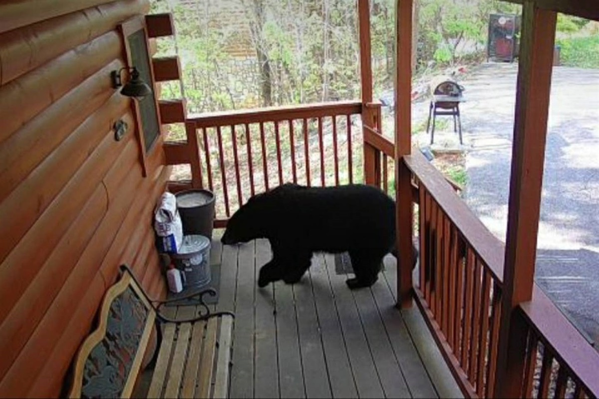 We had a bear visit our Cabin in April. This bear is a rebel that ignored the quarantine orders but surprisingly this bear was a great guest. 5 Stars.