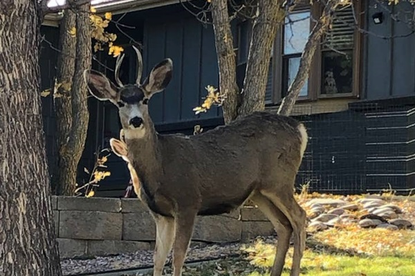 There's a group of bucks that just hang out in the neighborhood, wanting to get their  picture taken!