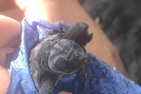 Baby turtle gets checked over before being released back into the Pacific Ocean at the turtle sanctuary