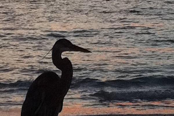 Beautiful Sand-hill Crane walking along the shore