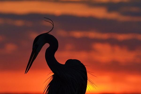 The Heron, a Native Coastal Bird