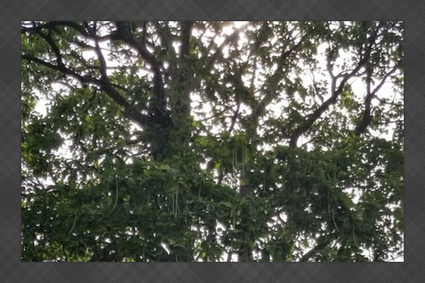 Quite possibly the largest Catalpa Tree in South Dakota