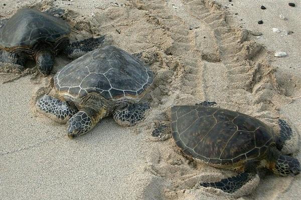 Sea turtles emerge from ocean at night to nest at Daytona Beach Shores beach.