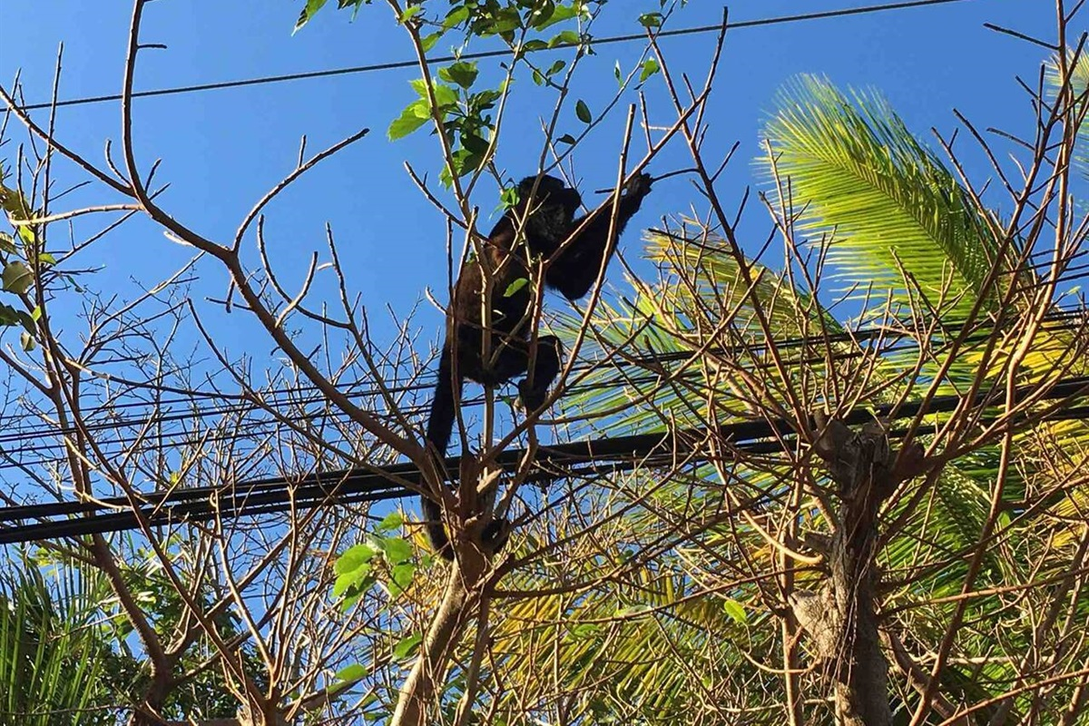 A local monkey using the power lines as a shortcut between the trees!