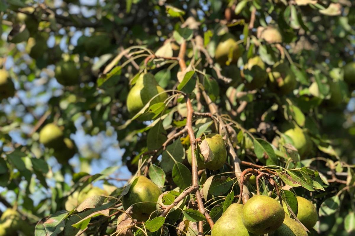 Kenwood pear trees