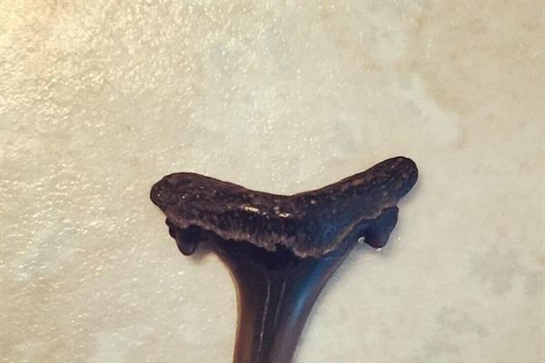 Shark tooth found on Amelia Island.