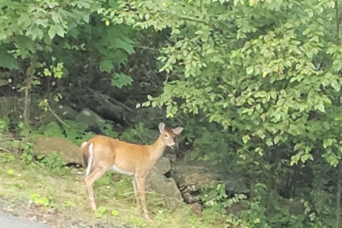 Deer at Driveway