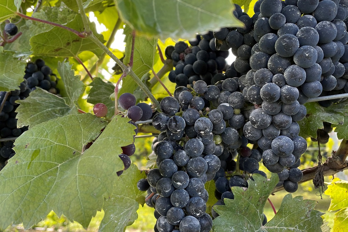 When in season, pick fresh grapes right off the vine. Paired well with your favorite Door County Wine...