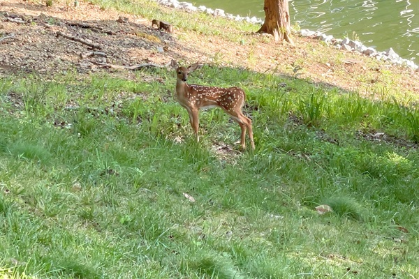 Young fawns are some of our favorite guests