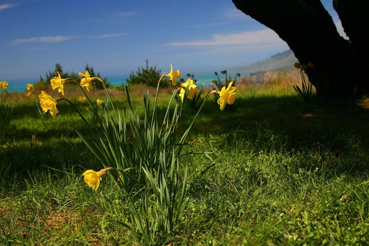 Pacific Sunset Daffodils