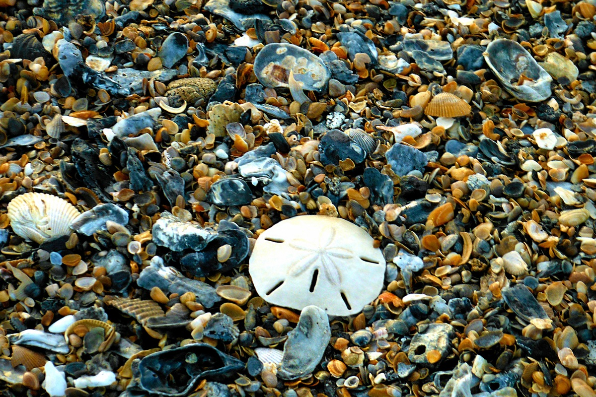 Shelling and Shark Tooth Hunting